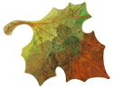 Foliage Progression III - Maple Leaf